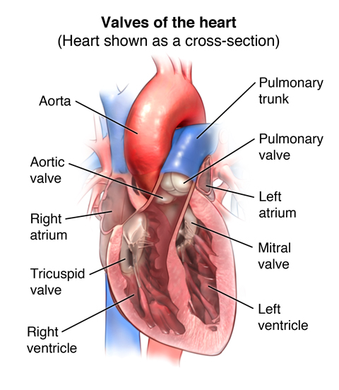 Diagram showing valves of the heart